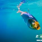 死んだ魚をピチピチ泳がせるルアー、その名も「ゾンバイト」