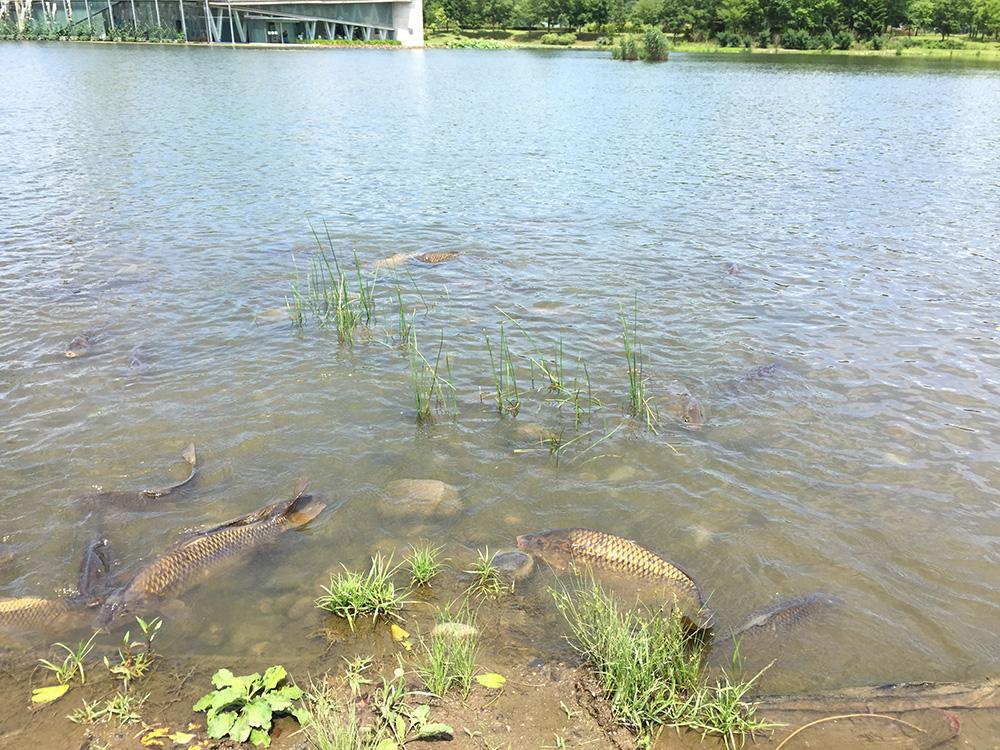 巨大な池には巨大なコイがウジャウジャ
