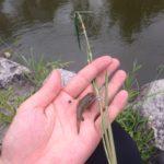 釣仙郷こと水元公園で小物釣り!拾った笹を竿にして…