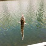 【編集長のハゼ釣り2017】ハゼ釣りからのサヨリ釣り!サヨリ爆釣の夢は叶うのか。。。