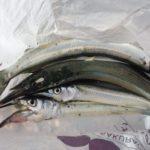 【サヨリ釣り】エセ浦安釣法で惨敗、「波平戦法」に手を染めた話