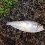 酢締めのネタを求めて。コノシロ釣りで意外にもコノシロが釣れる・・・マジか!