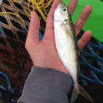 【イナダ釣行】デカ鯵は嬉しいけど。翌日リベンジを決意し、竿を買い、養老川に宿泊・・・必死です。