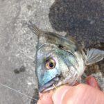 使用済みガムでクロダイ釣りに挑戦!今思えばチンチン二匹の幸福。(東雲、辰巳)