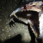 ダイソーミノーを襲う刃と牙!こいつは初めて釣りました♪