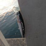 VIVAダイソーミノーモンスター ♪ カマスに太刀魚・・もう殿堂入り決定。イナダボイルもあったよ♪