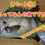 【愛媛県宇和島市】釣ったお魚届いたよ!これって何の魚ですか??パート⑩イシダイの体のシマシマの有り無しって??こんなおっきい魚釣りあげてみたい!