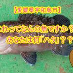 【愛媛県宇和島市】これって何の魚ですか??「ハタ」?「マハタ」?「クエ」?ハタ科の世界最大級「タマカイ」におったまげ!