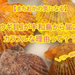 【愛媛県宇和島市】とってもカラフル!ヒオウギ貝が届いたよ♪カラフルな理由って?そして、「ウロ」ってなぁに??