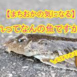 【まちおかの気になる】これって何の魚ですか?パート⑬メゴチとネズミゴチの違いって??おっきい口?おちょぼ口??
