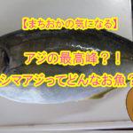 【愛媛県宇和島市】釣ったお魚届いたよ!アジの最高峰「シマアジ」ってどんなお魚??鳴き声を出すってホント???
