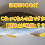 """【愛媛県宇和島市】今が旬!初夏を告げる魚""""イサキ""""が届いたよ♪魚の「縦縞」は「横縞」なの??"""