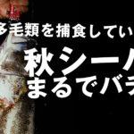 【荒川シーバス 2019】え!?秋バチ!?ランカークラスのシーバスが捕食していのは!?